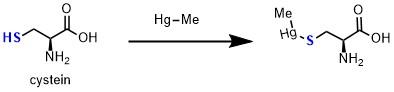 メチル水銀によるチオールのS水銀化による毒性発現