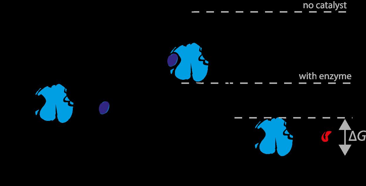 酵素とは?生物における働きと分類