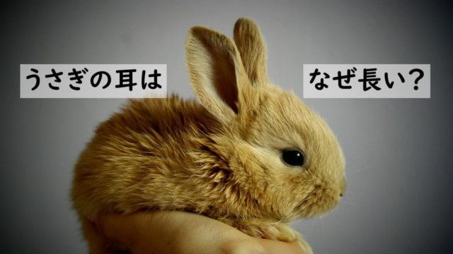 うさぎの耳が長い理由