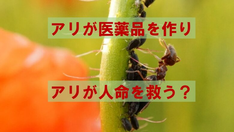 アリが抗生物質を作る?