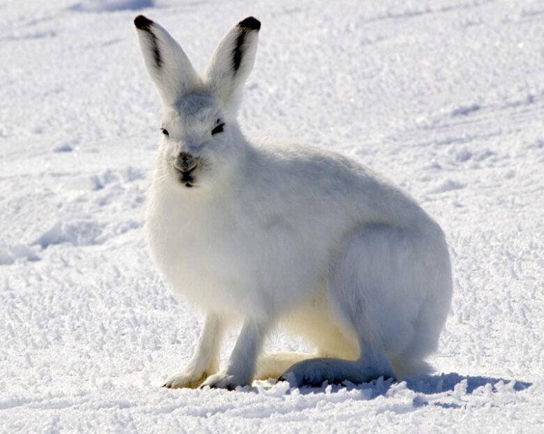 Arctic_Hare_1