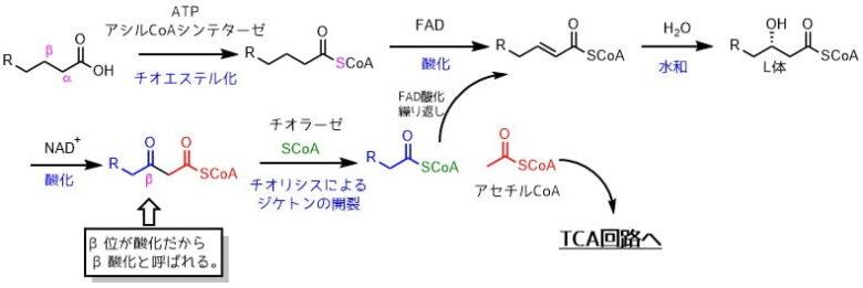 β酸化の経路