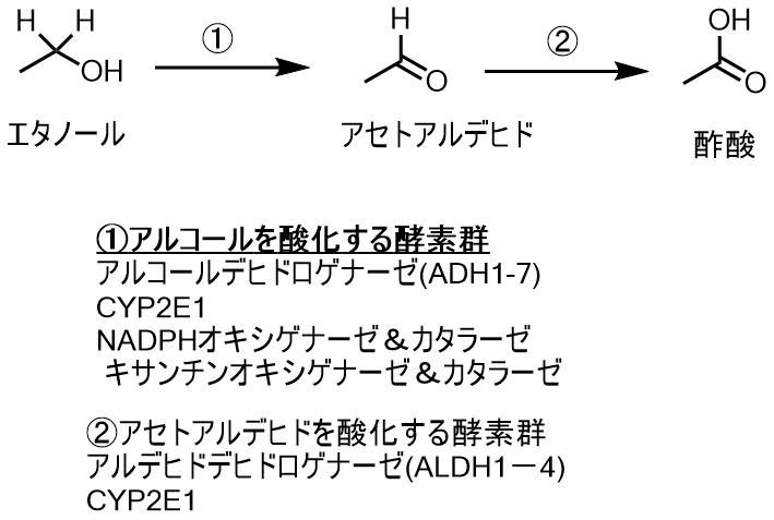 エタノールの代謝経路