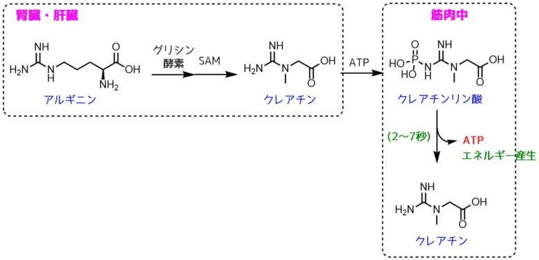 クレアチンの構造と機能