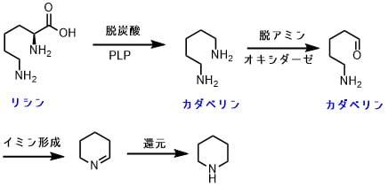 リジンからピペリジンの生合成