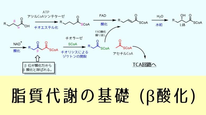 β酸化 脂質代謝の基礎