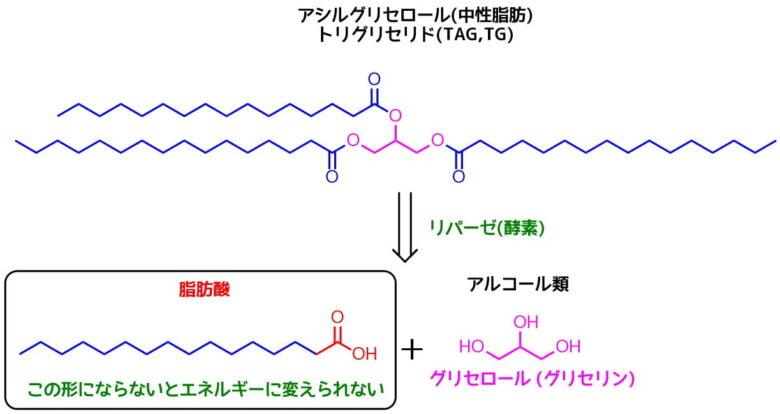 脂肪酸の産生