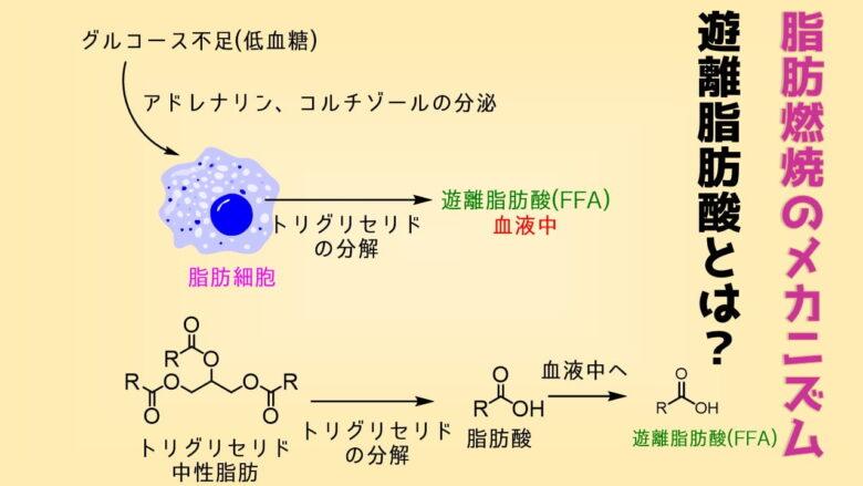 遊離脂肪酸 脂肪燃焼の原理とは?