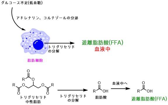 遊離脂肪酸の仕組み