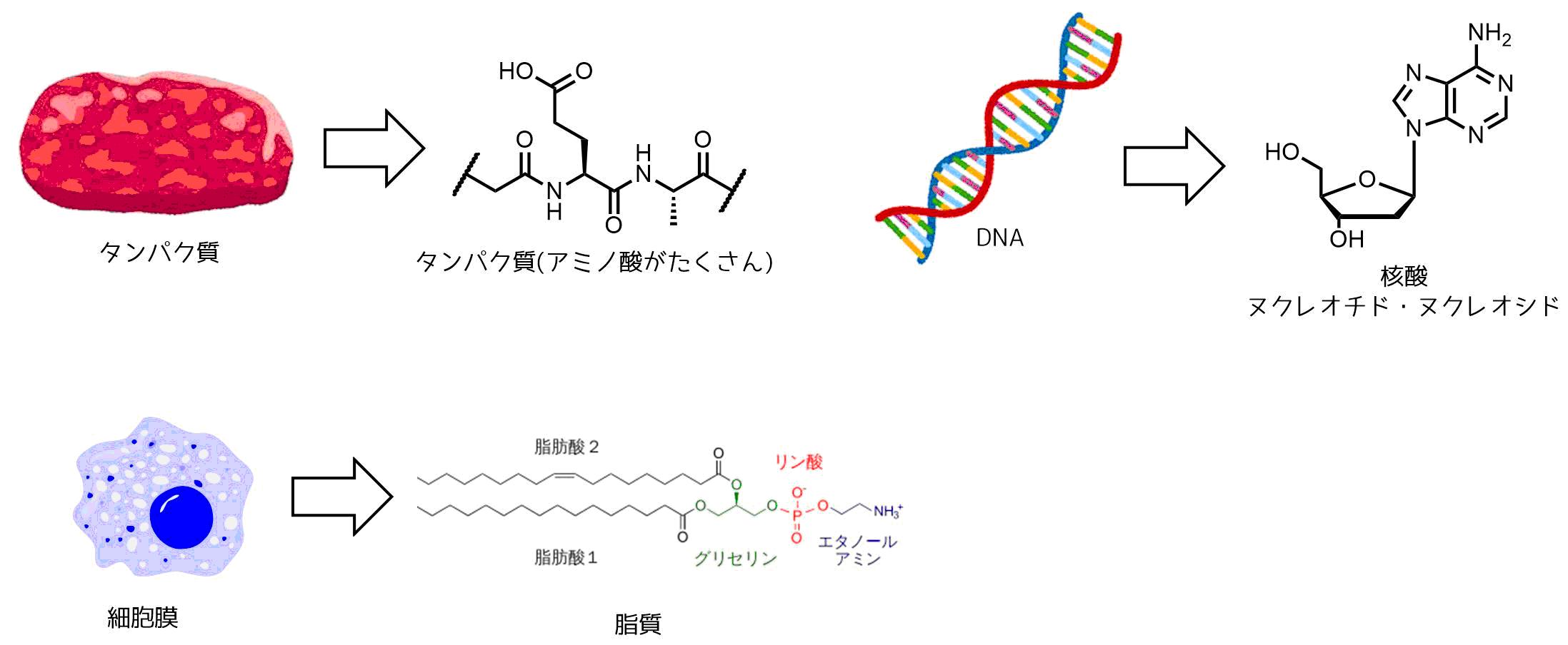 核酸とタンパク質と脂質