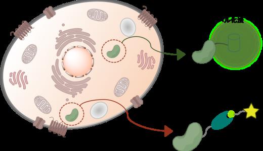 タンパク質のラベル化手法 細胞内と細胞外のタンパク質ラベル化